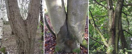 Assessment of Tree Forks