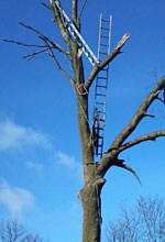 A typical Facebook update – correct use of ladders for arborists!!