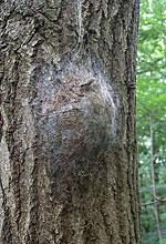 Oak Processionary Nest © Raplh Parks/Forestry Commission