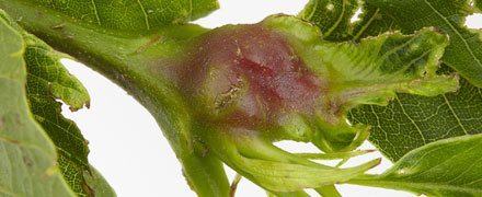 The Gall Wasp