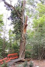 Death of motorist from a falling branch of mature oak