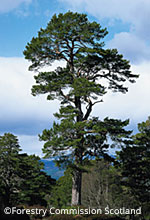 Ballochbuie Scots Pine