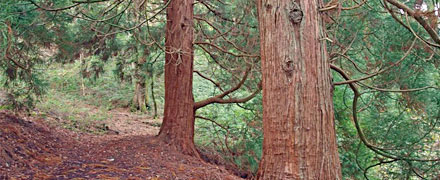 One of the UK Champions is an enormous Red Cedar Credit: Snowdonia National Park Authority